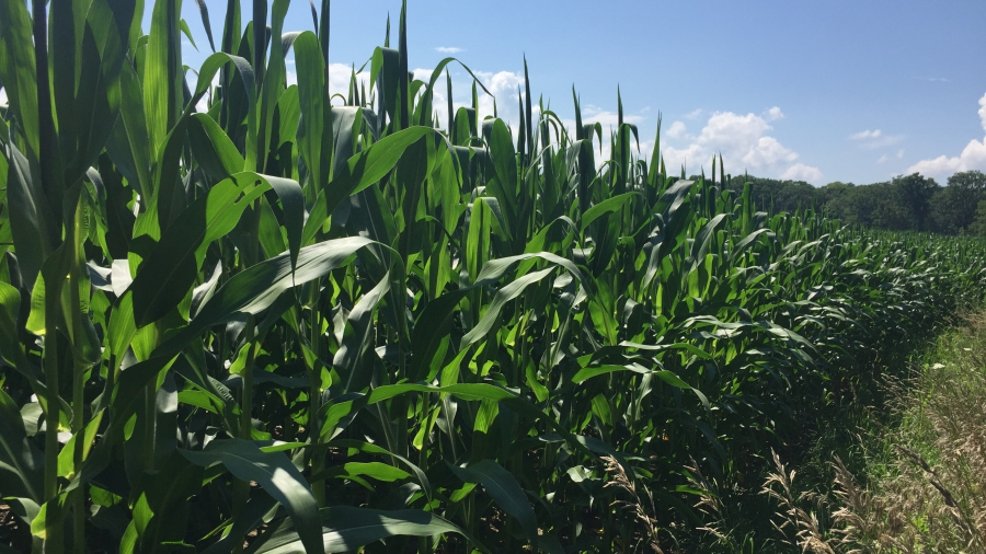 Corn_field_in_central_New_York