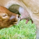 cow calf nursing