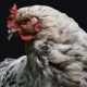 chicken close up animal-1851495_1280